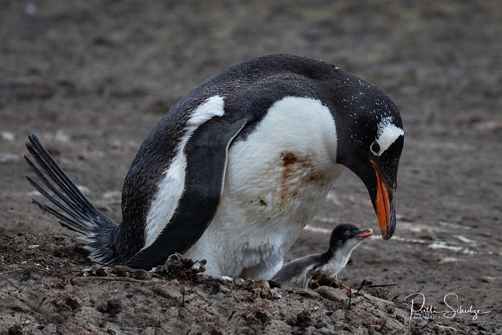 Gentoo and Young